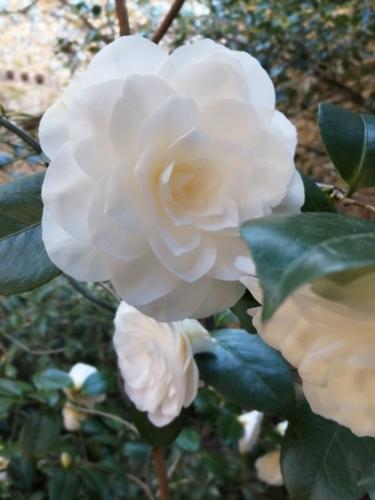 Camélia blanc.jpg