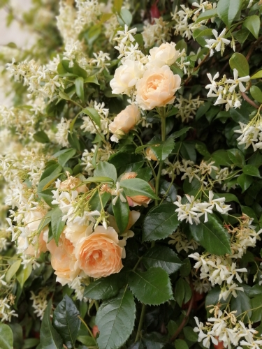 Roses et jasmin.jpg